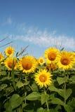 Поле солнцецветов Стоковая Фотография