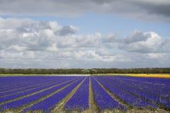 Поле с голубыми виноградинами Стоковое Изображение RF