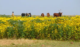 Поле с желтыми цветками. Коровы в выгоне. Стоковые Фотографии RF