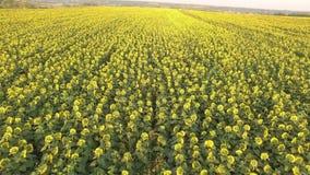 Поле с зацветая солнцецветами вид с воздуха top От выше Видео 4K сток-видео