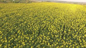 Поле с зацветая солнцецветами вид с воздуха top От выше Видео 4K видеоматериал