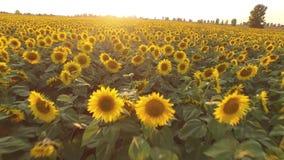 Поле с зацветая солнцецветами вид с воздуха top От выше Видео 4K акции видеоматериалы