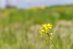 Поле с зеленой травой и цветками Agroculture, завод Стоковое Изображение