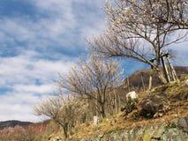 Поле сливы на Mt Парк Maku Стоковые Фото