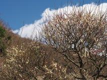 Поле сливы на Mt Парк Maku Стоковая Фотография
