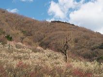 Поле сливы на Mt Парк Maku Стоковые Фотографии RF