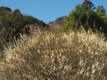 Поле сливы на Mt Парк Maku Стоковая Фотография RF