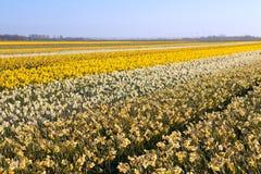 Поле с много желтых narcissus Стоковое Изображение