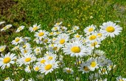 Поле с много маргариток цветков Стоковые Фото