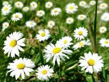 Поле с много цветков маргаритки Стоковые Изображения RF
