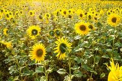 Поле солнцецвета Стоковые Фотографии RF