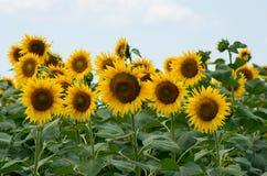 Поле с солнцецветами Стоковые Изображения RF