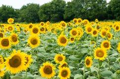 Поле с солнцецветами Стоковое Изображение RF
