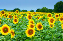 Поле с солнцецветами Стоковые Фото