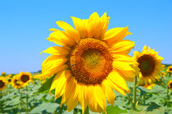 Поле с солнцецветами Стоковые Фотографии RF