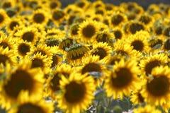 Поле с солнцецветами Стоковое Фото