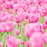 Поле с тюльпанами весной Стоковое Фото