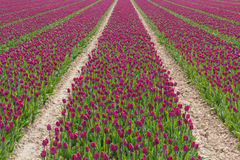 Поле с фиолетовыми тюльпанами в Голландии Стоковое Фото