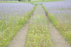 Поле с фиолетовыми цветками, файф, Шотландия Стоковое Изображение RF