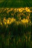 Поле с хлопьями Заход солнца и ячмень кукурузного поля Пшеничное поле в вечере Пшеничное поле на предпосылке заходящего солнца шт Стоковая Фотография
