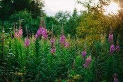 Поле с цветя кипрейные стоковые изображения rf