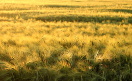 Поле с ячменем в заходе солнца Стоковая Фотография RF
