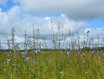 Поле с cornflowers Стоковые Фотографии RF