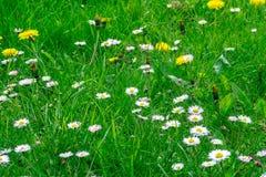 Поле травы вполне трав и полевых цветков Стоковые Фотографии RF