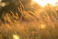 Поле травы золота Стоковая Фотография RF