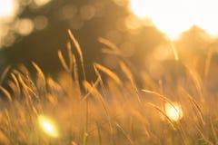 Поле травы золота Стоковое Фото
