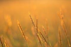 Поле травы золота Стоковые Изображения