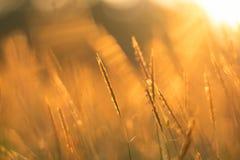 Поле травы золота Стоковое Изображение RF