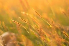 Поле травы золота Стоковые Фотографии RF
