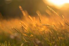 Поле травы золота Стоковые Фото
