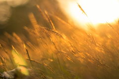 Поле травы золота Стоковое Изображение