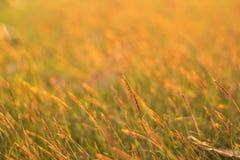 Поле травы золота Стоковые Изображения RF