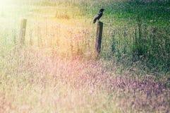 Поле травы при ворон сидя на старой деревянной загородке Стоковое Изображение