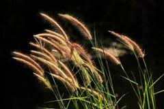 Поле травы pennisetum или gramineae Setaceum Стоковое фото RF