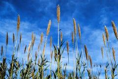 Поле тростника перед голубым небом Стоковая Фотография RF