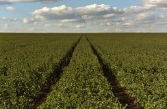 Поле турнепса, аграрное, поля турнепса, Стоковые Изображения RF