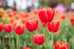 Поле тюльпана в парке Стоковая Фотография RF
