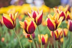 Поле тюльпана в парке Стоковая Фотография