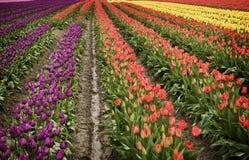 Поле тюльпана долины Skagit. Стоковые Изображения