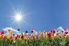 Поле тюльпана панорамы, голубое небо с солнечностью стоковые изображения