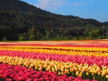 Поле тюльпана с предпосылкой горы Стоковые Изображения RF