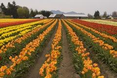 Поле тюльпана с фермой Стоковое фото RF