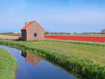Поле тюльпана стоковые фотографии rf