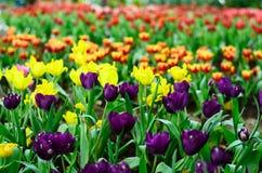 Поле тюльпана Стоковые Изображения RF