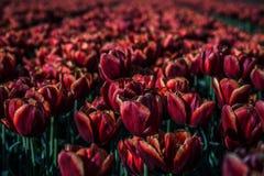 Поле тюльпана Стоковое Изображение