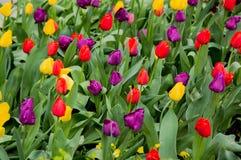 Поле тюльпана Стоковое Изображение RF